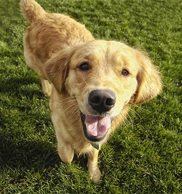 What To Expect in Evanston: Smiling golden retriever